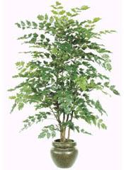 Mahonia Tree 5ft