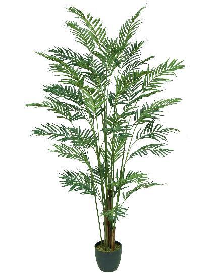 Parlor Palm 5ft