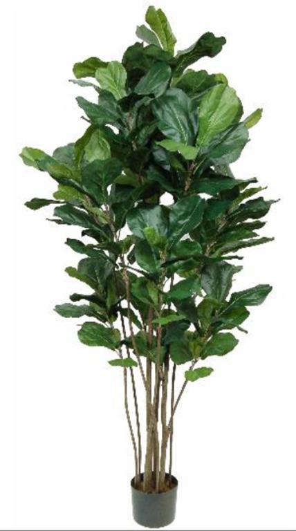 Fiddle Leaf Fig Tree 5ft
