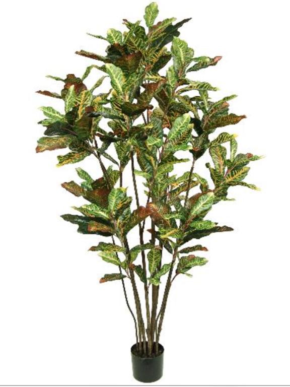 Croton Tree 6ft