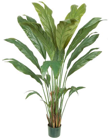 Chamaedorea palm - 5 Ft.
