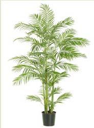 Areca Palm - 5 Ft