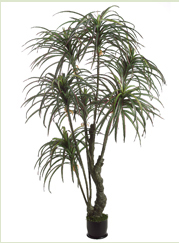 Yucca Tree 7'
