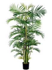Areca Palm 8ft
