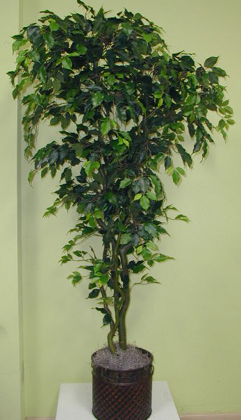Ficus Tree, deluxe 7ft