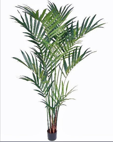 Kentia Palm 8ft