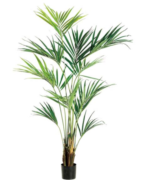 Kentia Palm 7ft