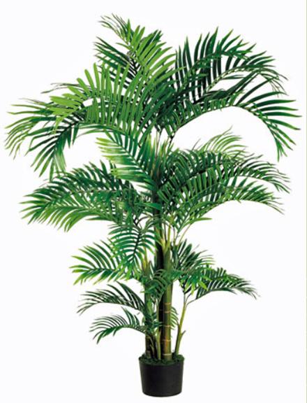 Tropical Kentia Palm 6ft