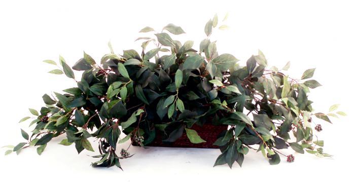 Fruiting Ivy Ledge Garden