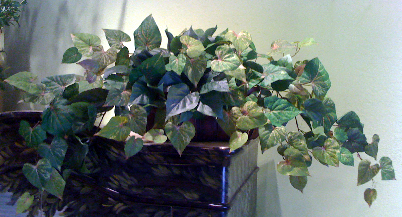 Potato Ivy Ledge Garden