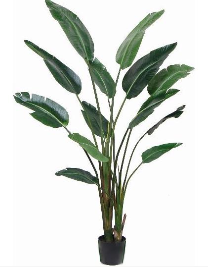 Traveler's Palm - 6 ft.
