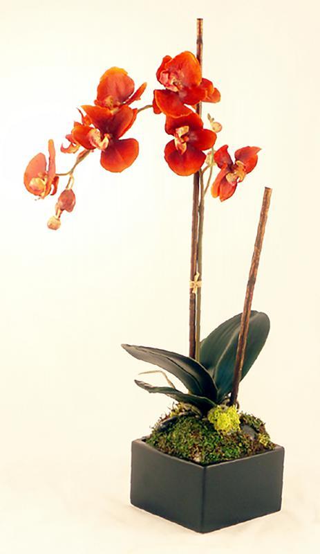 Rust Phalenopsis Orchid
