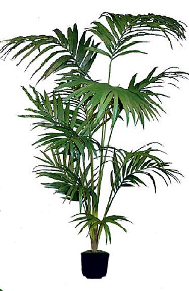 Kentia Palm 10 ft
