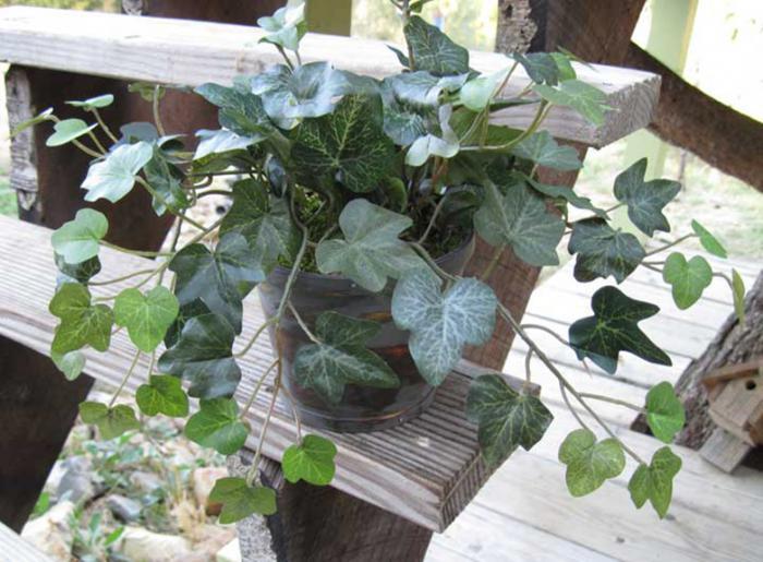 Mini English Ivy