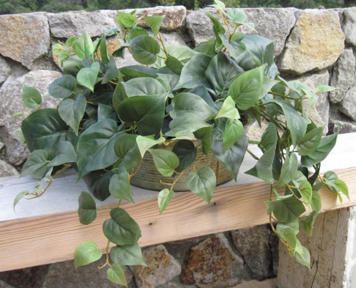 Philo Ivy in Round Tin Pot