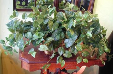 Pothos Ivy In Basket