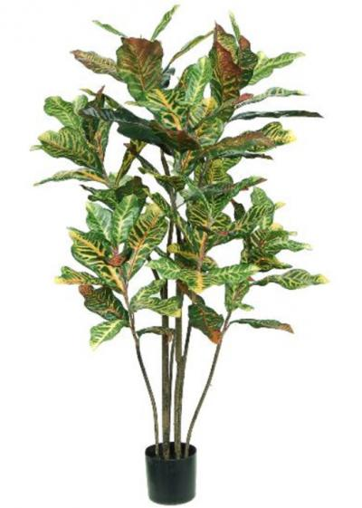Croton Tree 4ft