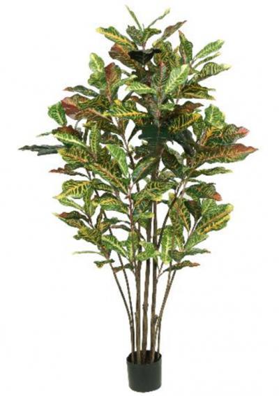 Croton Tree 5ft
