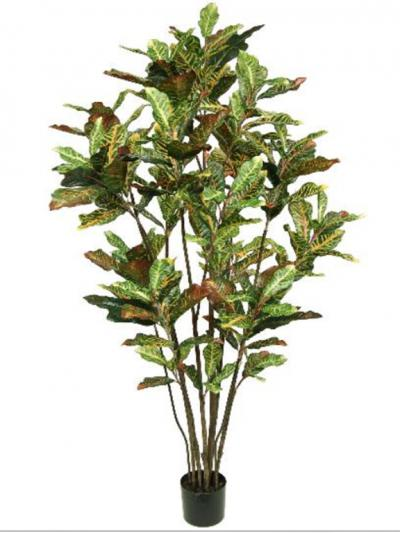 Croton Tree 6ft