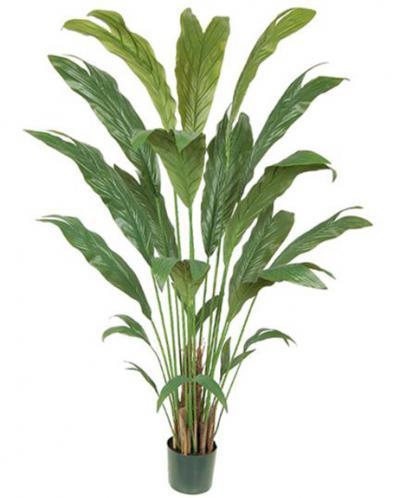 Chamaedorea Palm - 6 Ft.