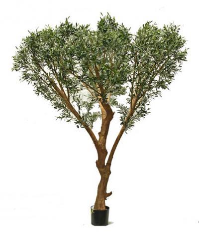 Italian Olive Tree 8.5'
