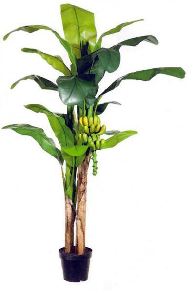 Banana Palm 7ft
