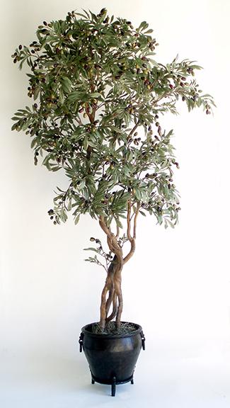 Olive Tree - 6.5 ft