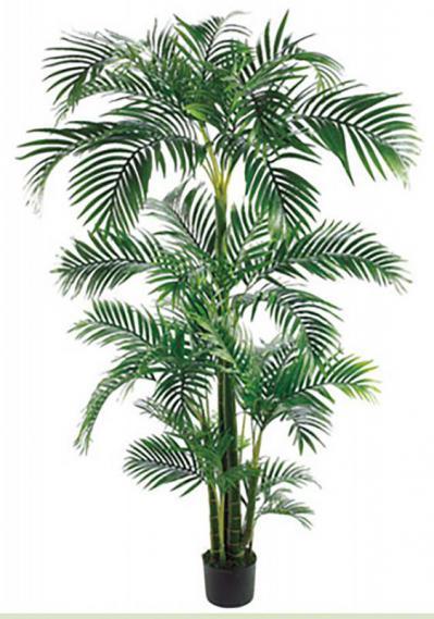 Tropical Kentia Palm 7ft