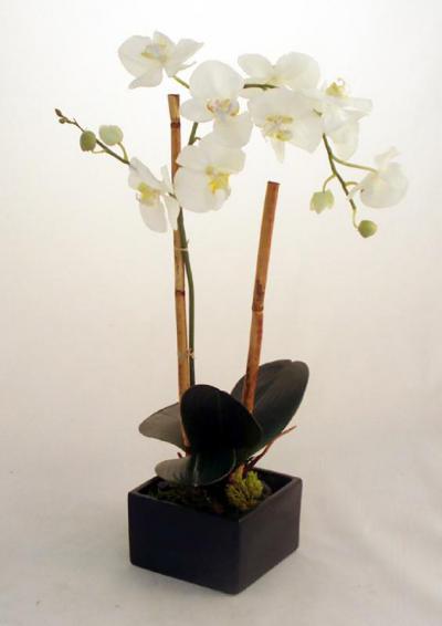 Phalaenopsis Orchid in Sq