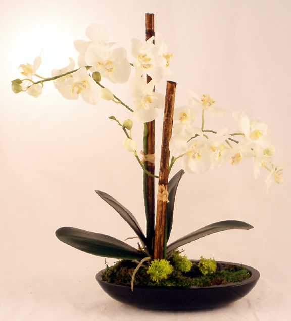White Phalaenopsis In Black Oval